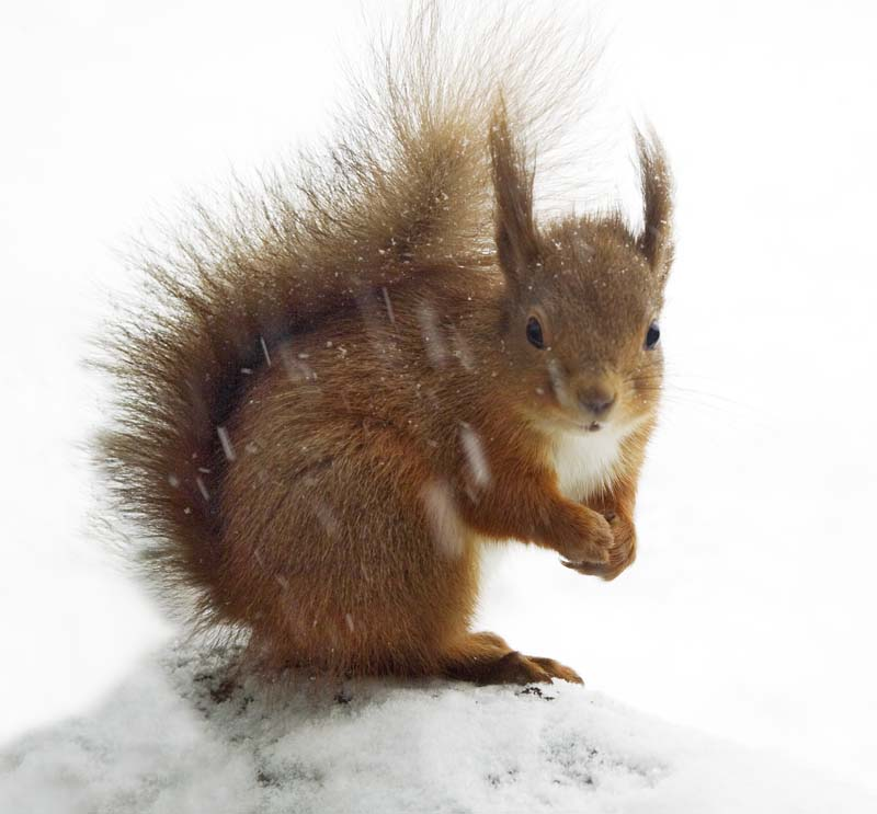 Red Squirrel In Winter Simon Fraser Photo